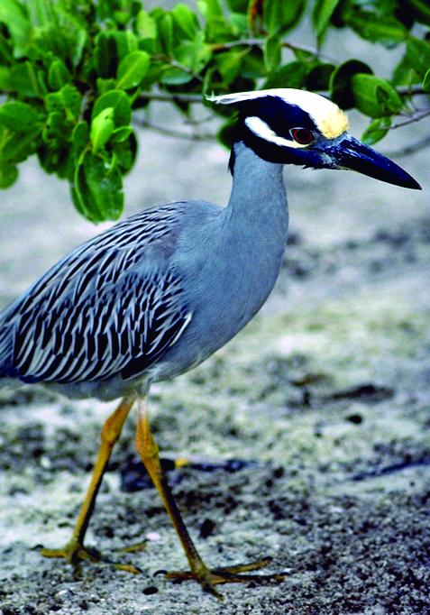 yellow-crowned_night_heron.jpg