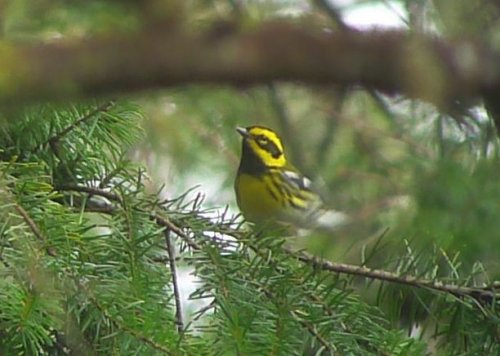 Townsend's Warbler by Dane Osis