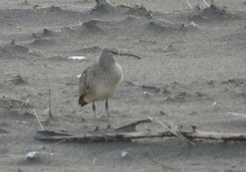 Whimbrel by John Green