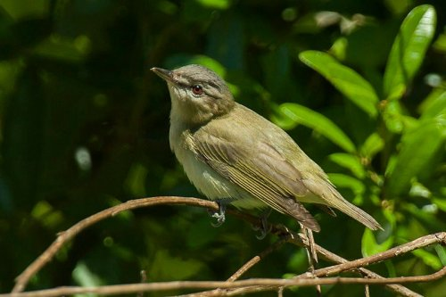 Red-eyed Vireo - Source Wikipedia Commens