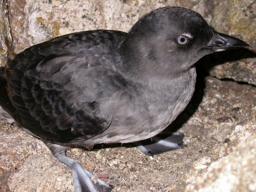 Cassins Auklet - Image courtesy of Duncan Wright