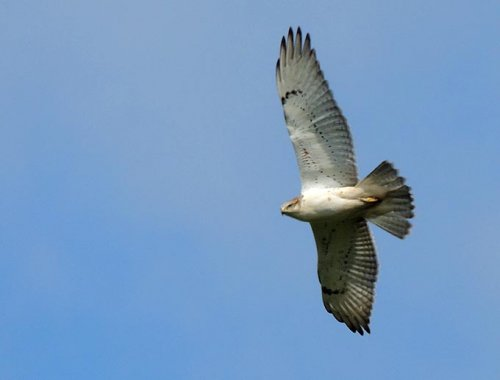 Ferruginous Hawk - Image courtesy of Terry Anderson