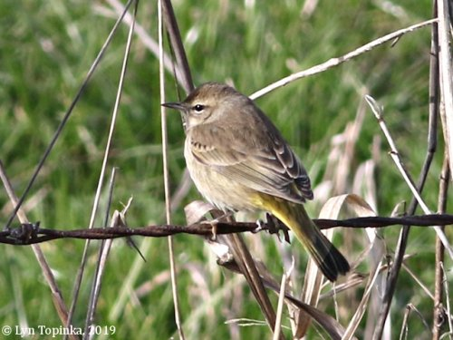 Palm Warbler seen at Woodland Bottoms - Image courtesy of Lyn Topinka