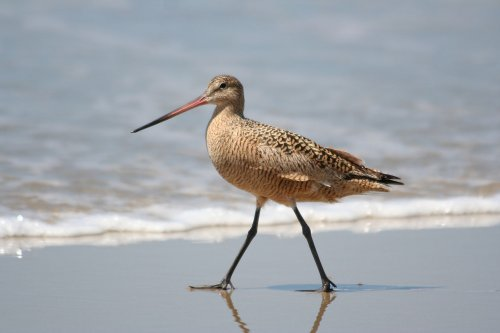 Marbled Godwit - Image courtesy of Wikemedia