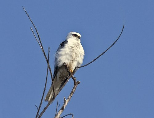 White-tailed Kite- Image courtesy of Kevin Cole via Wikemedia