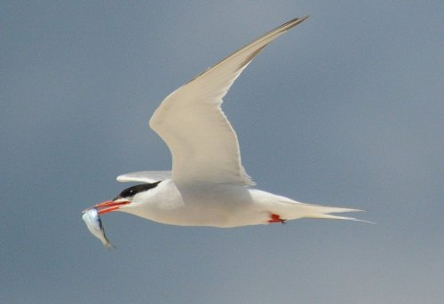 Common Tern - Image courtesy of Badjoby - Wikemedia