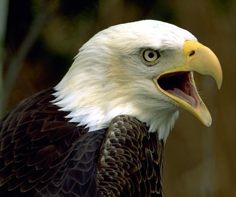 bald_eagle_cropped.jpg