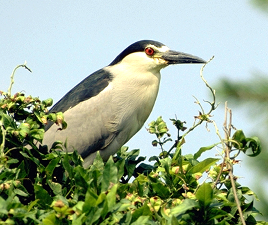 black-crowned_night_heron.jpg