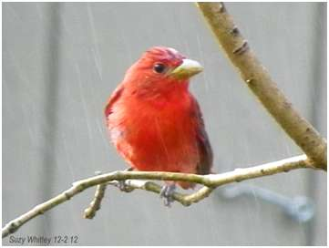 Image: Suzy Whittey - Male Summer Tanager
